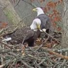 Dale Hollow Lake Eagle Cam goes live