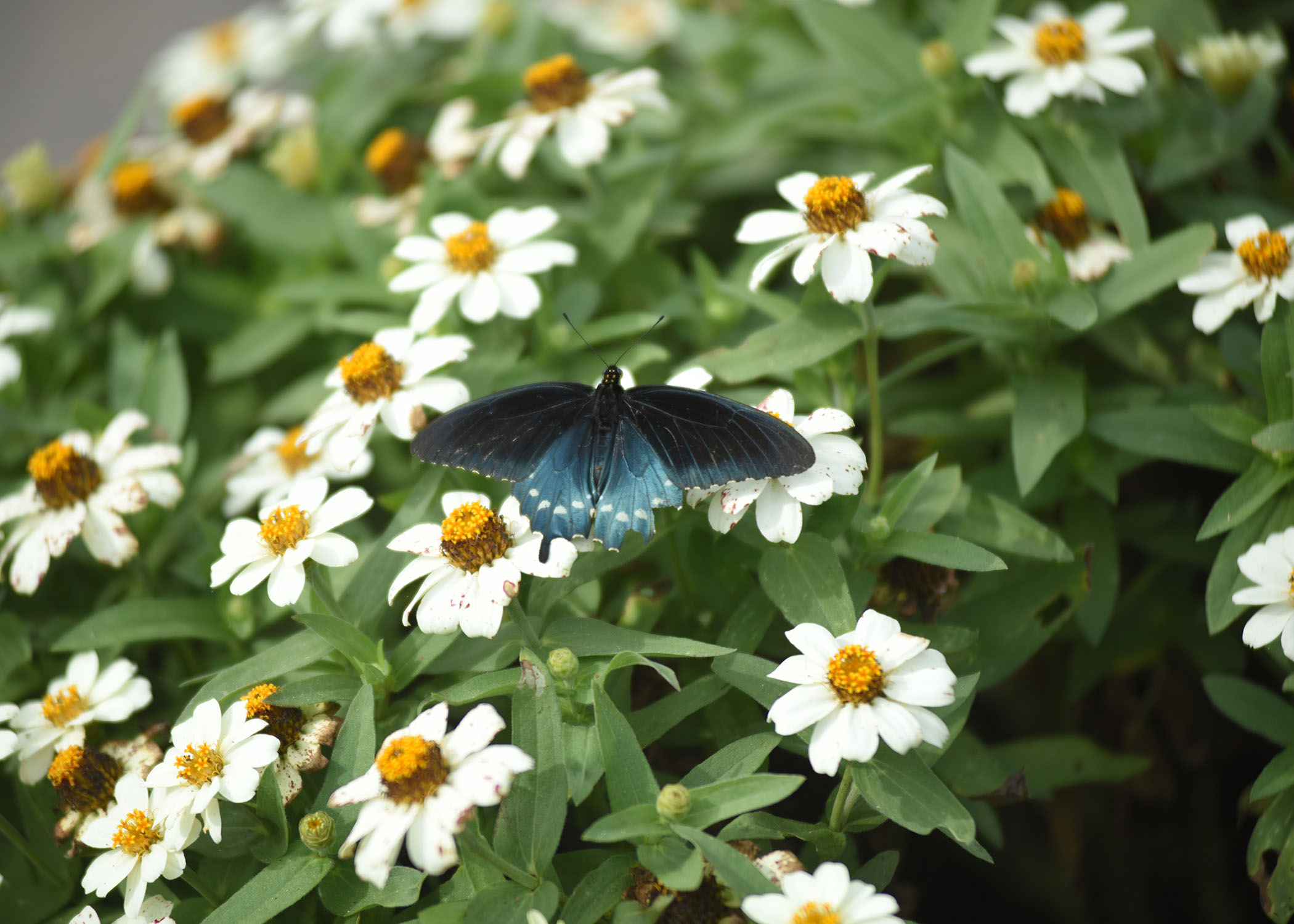 A Pipevine butterfly visits the pollinator garden at Cheatham Lake in Ashland City, Tenn., Sept. 30, 2017. (Photo by Lee Roberts)