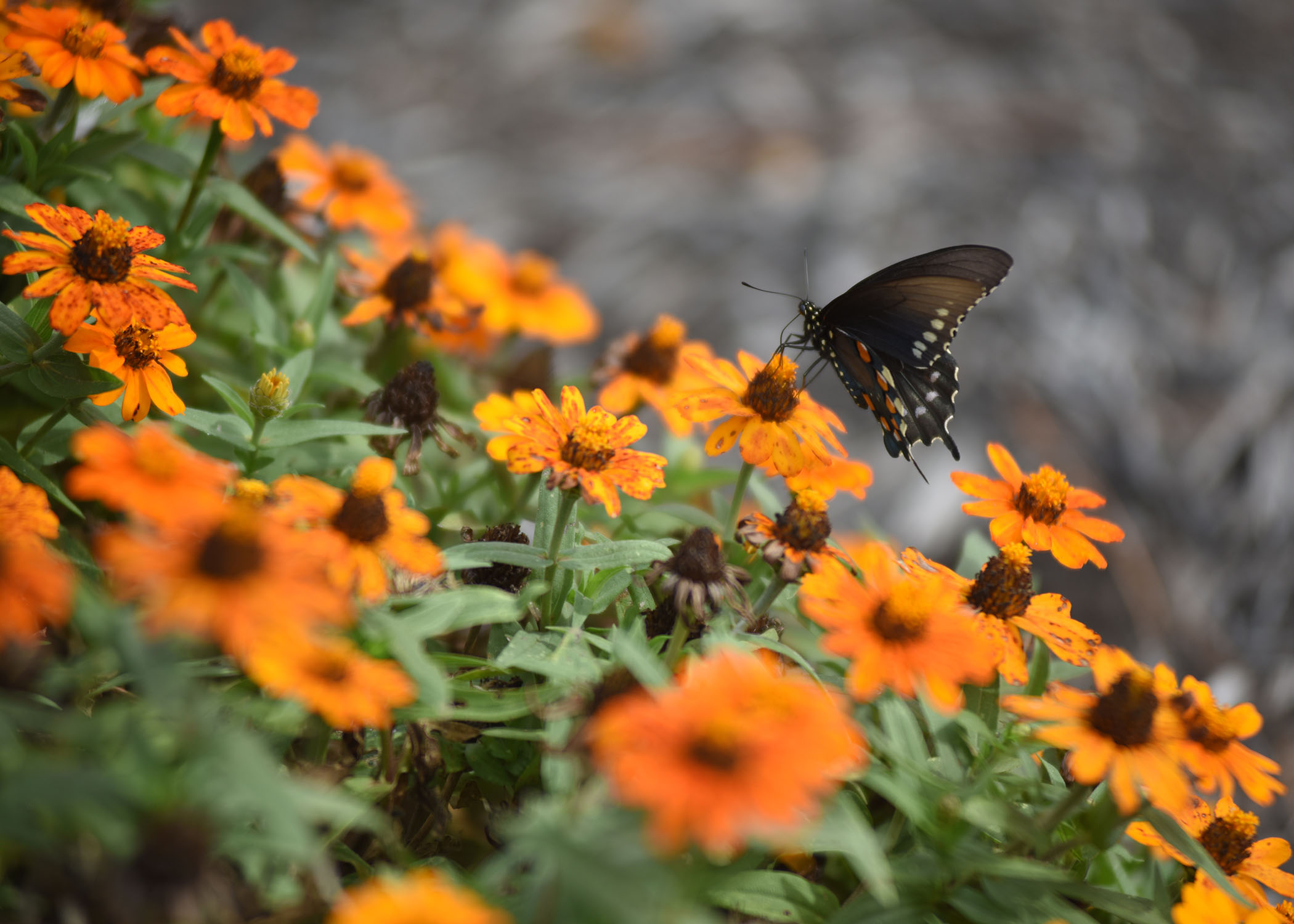 A butterfly visits the pollinator garden at Cheatham Lake in Ashland City, Tenn., Sept. 30, 2017. Volunteer gardeners are needed to join the team responsible for developing, maintaining and improving the garden, working toward certification as a Monarch Waystation at the U.S. Army Corps of Engineers Nashville District project. (Photo by Lee Roberts)